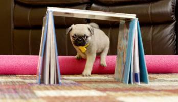 Cutie Pugs - E23 - Pug Olympics