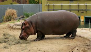 Big Bear and Squeak - E46 - Hippopotamus