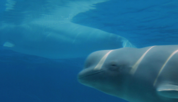 Big Bear and Squeak - E4 - Beluga Whale