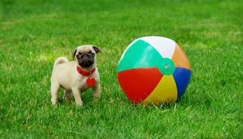 Cutie Pugs - E1 - The Ball
