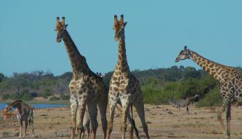 Tattle Tails - E45 - Giraffe Jig