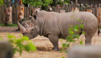 Big Bear and Squeak - E27 - Rhinoceros