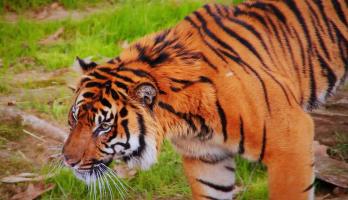 Big Bear and Squeak - E14 - Tiger