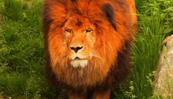 Big Bear and Squeak - E29 - Lion