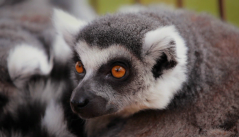 Big Bear and Squeak - E5 - Lemur