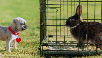 Cutie Pugs - E17 - Benny the Bunny