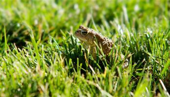 Cutie Pugs - E24 - The Frog