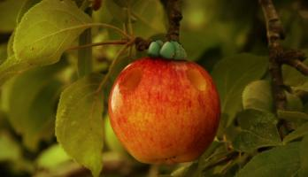 Minuscule - S2E45 - Love Apple